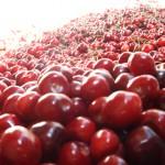 cherry02